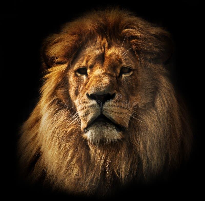 Leeuwportret met rijke manen op zwarte royalty-vrije stock foto's
