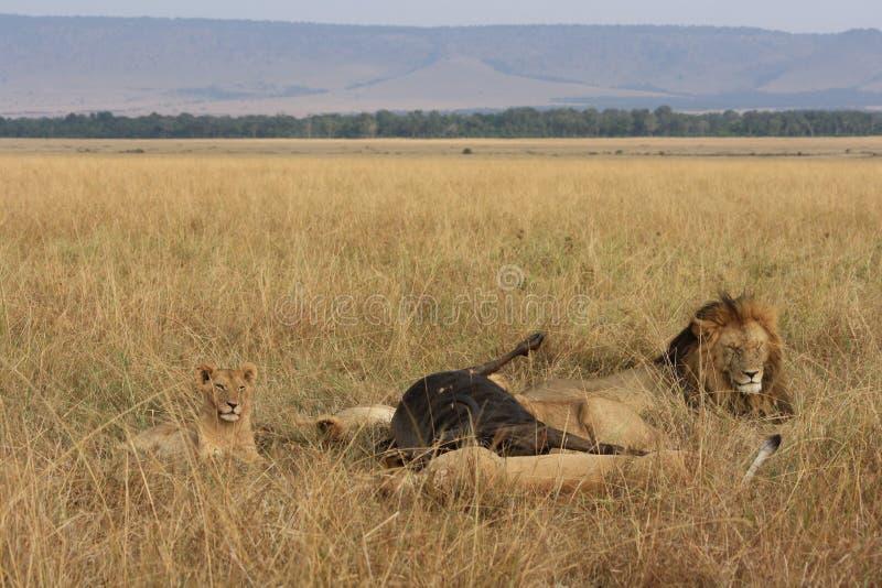 Leeuwtrots en zijn doden stock fotografie