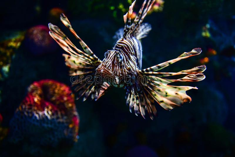 Leeuwvissen in aquariumtank royalty-vrije stock foto's