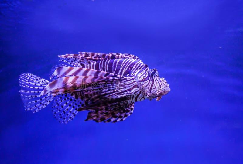 Leeuwvissen (Rode firefish) in aquarium royalty-vrije stock afbeelding