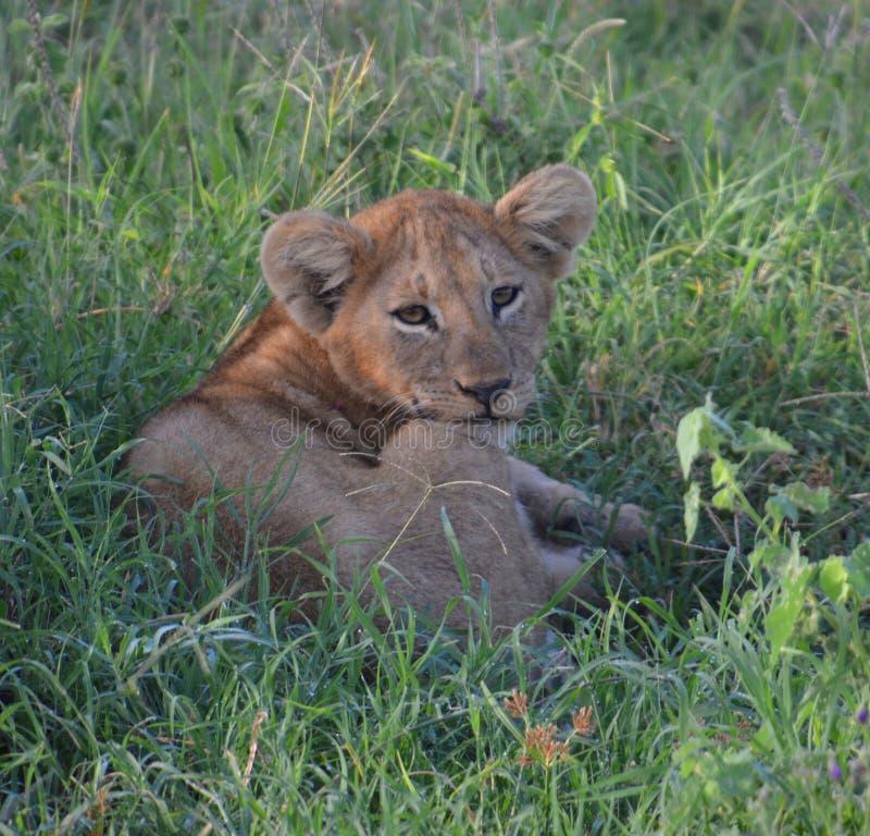 Leeuwwelp die op de vlaktes rusten royalty-vrije stock fotografie