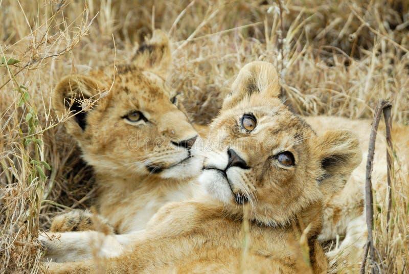 Leeuwwelpen in de savanne, het Nationale Park van Serengeti, Tanzania royalty-vrije stock afbeelding