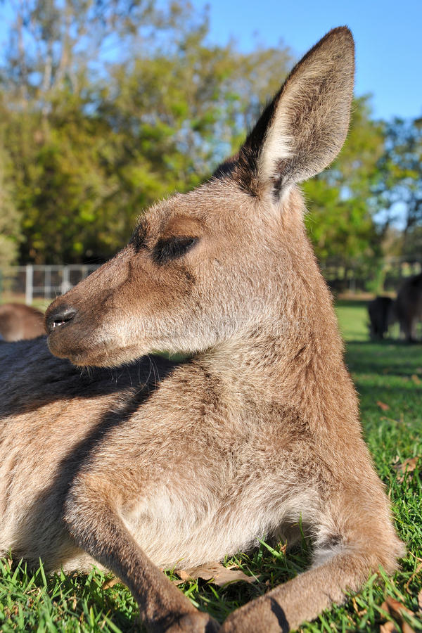 Left portrait about a resting kangaroo. The photo was taken from ground level royalty free stock images