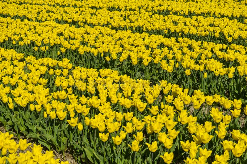 Left to right yellow and green dutch tulp field patern. Bright sunlight traditional holland tulp field from a farmer` s land. Vibrant color just background royalty free stock images