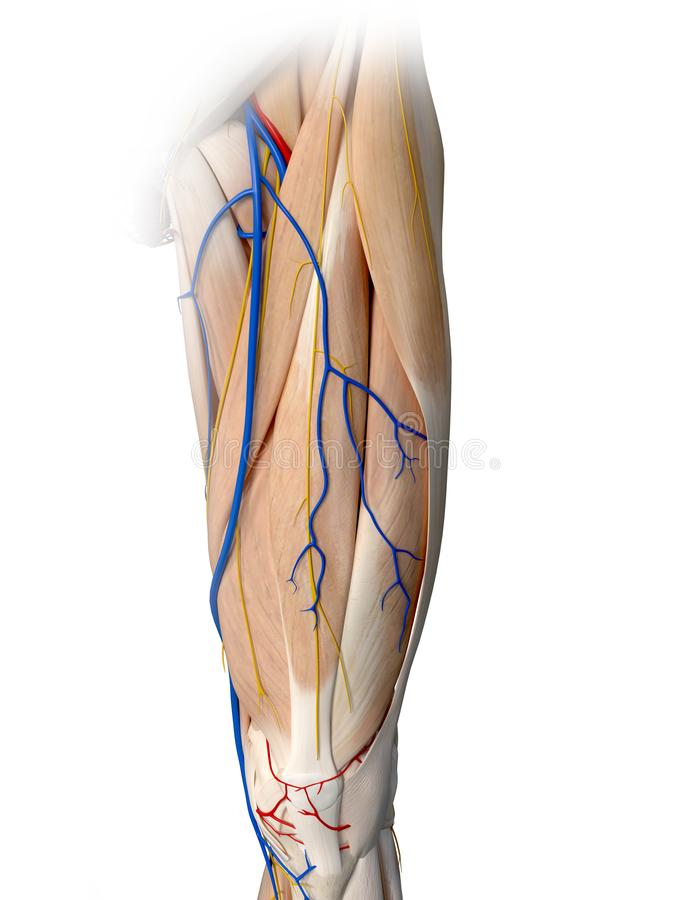 The leg anatomy. 3d rendered medically accurate illustration of the leg anatomy vector illustration