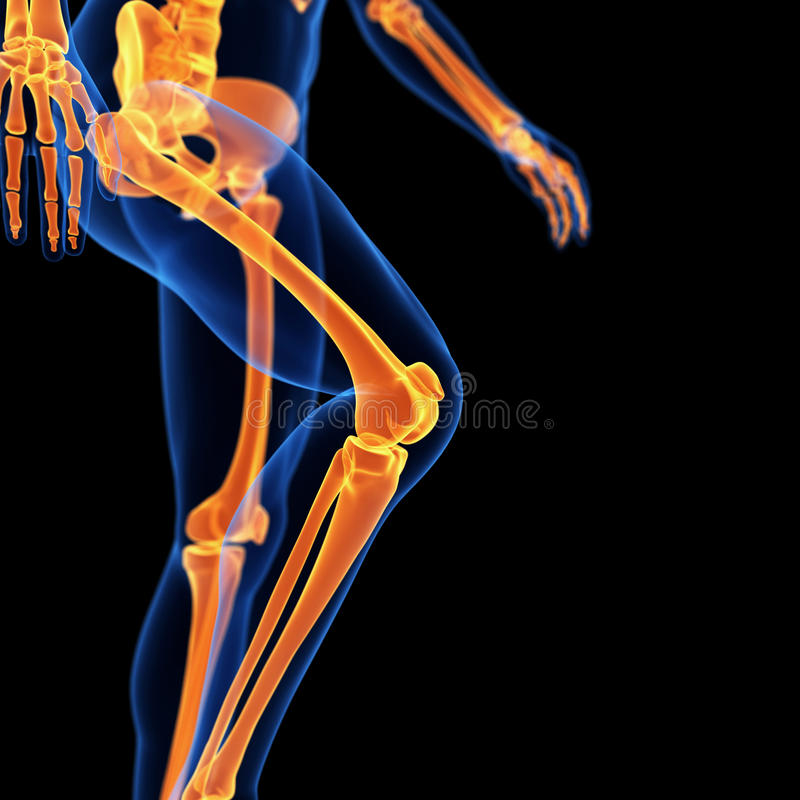 The leg bones. Medical 3d illustration of the leg bones vector illustration