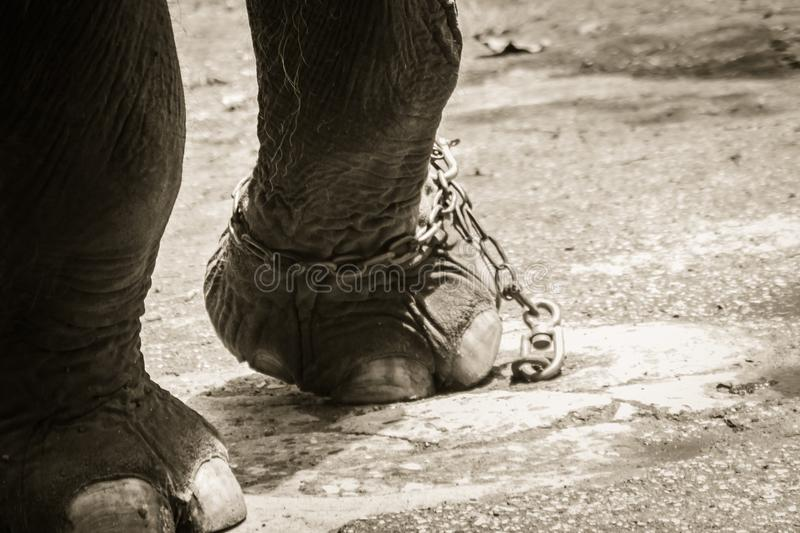 Leg chained elephant and look very pitiful. royalty free stock images