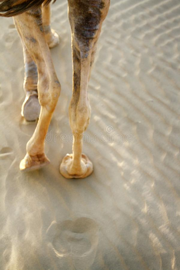 Leg, the hoof, camel toe of a camel dromader. And its trace on the sand royalty free stock images