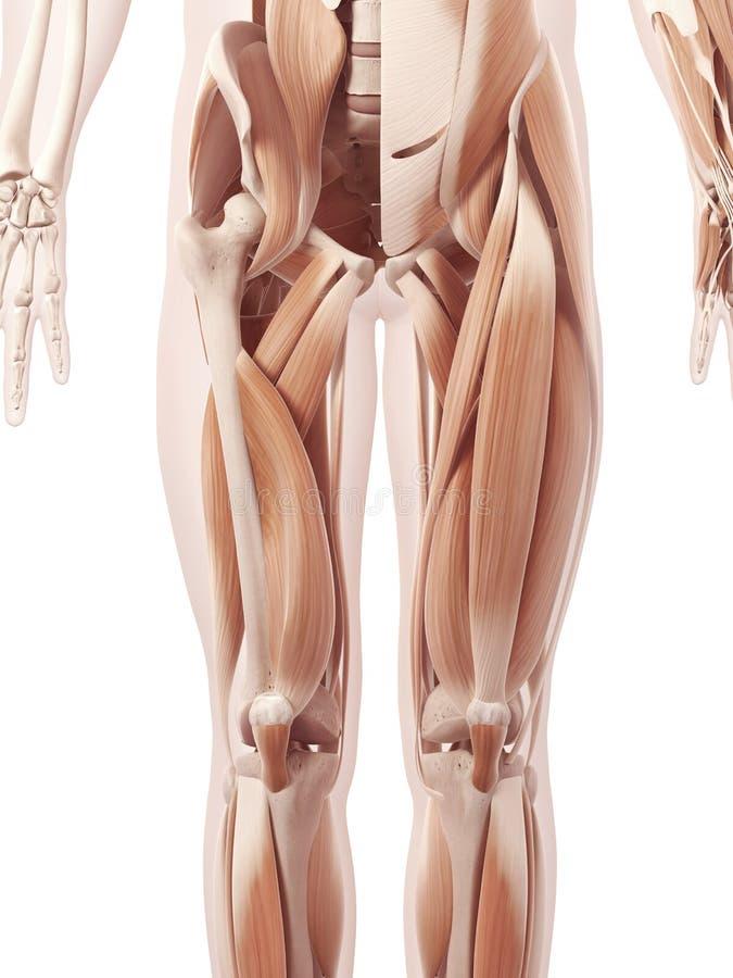 The leg muscles stock illustration