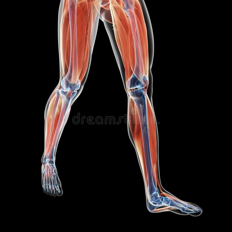 Leg muscles. 3d rendered illustration of the leg muscles stock illustration