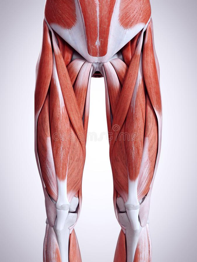 The leg muscles. 3d rendered medically accurate illustration of the leg muscles royalty free illustration