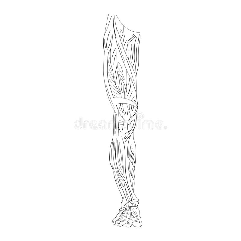Leg muscles front. Hand drawn illustration of the leg muscles on white, artistic anatomy graphic study stock illustration