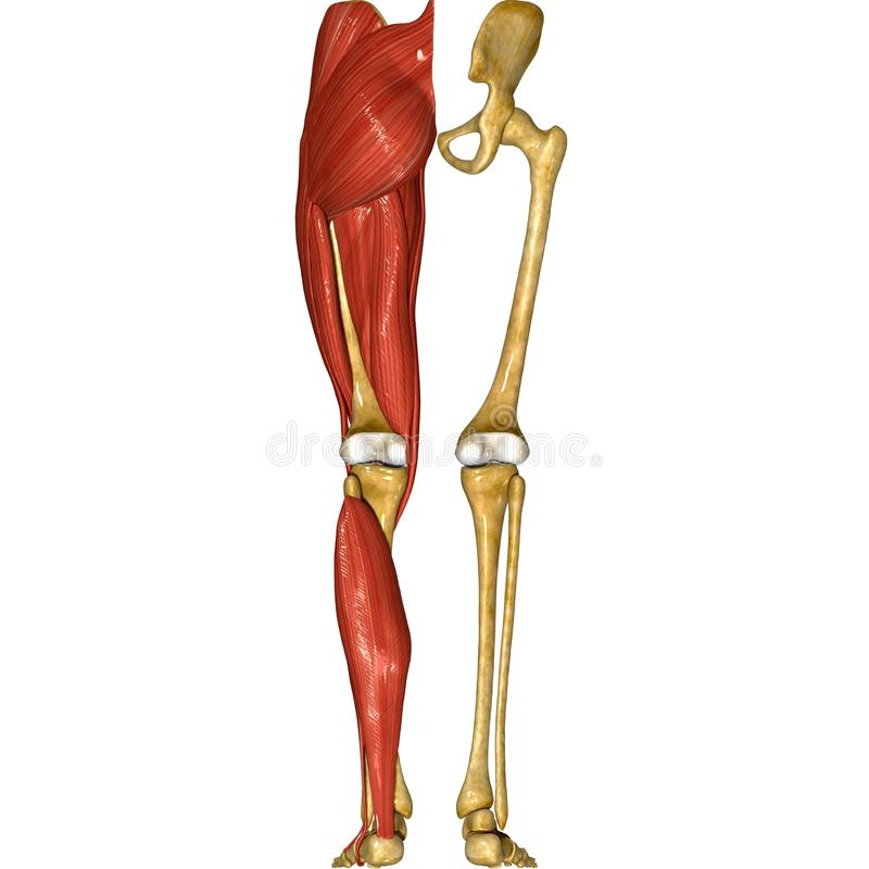 Leg muscles. The human leg is the entire lower extremity or limb[1][2] of the human body, including the foot, thigh and even the hip or gluteal region; however royalty free illustration