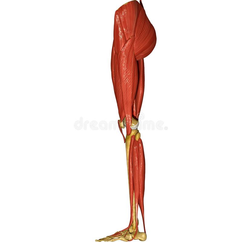 Leg Muscles Stock Illustration Illustration Of Femur 44688950