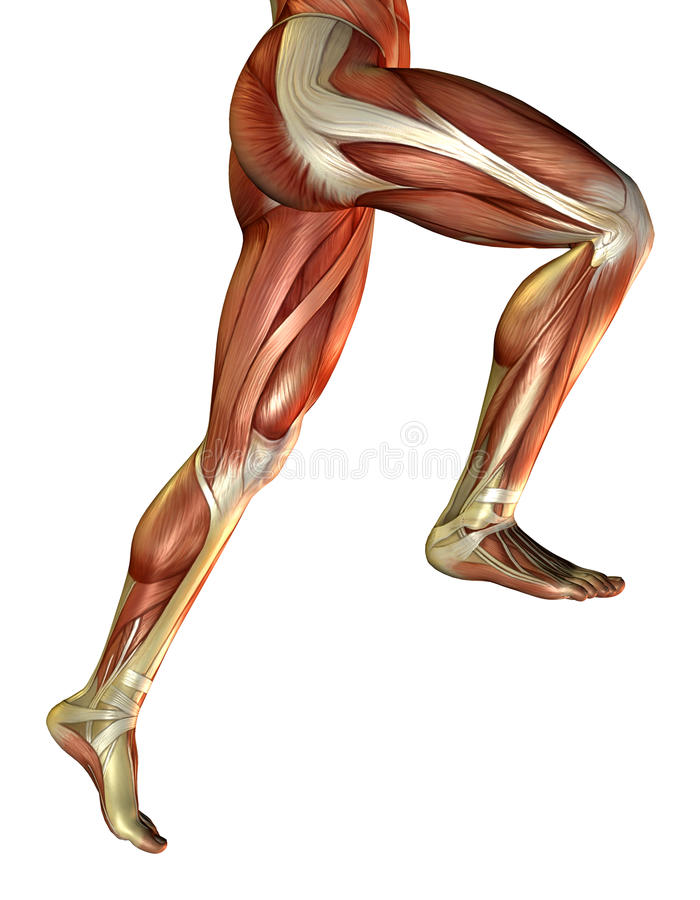 Leg muscles of the man. 3D rendering of the male leg muscles royalty free illustration