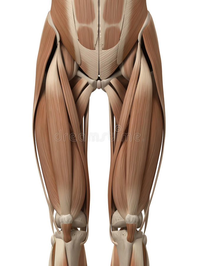 The leg muscles. Medical 3d illustration of leg muscles royalty free illustration