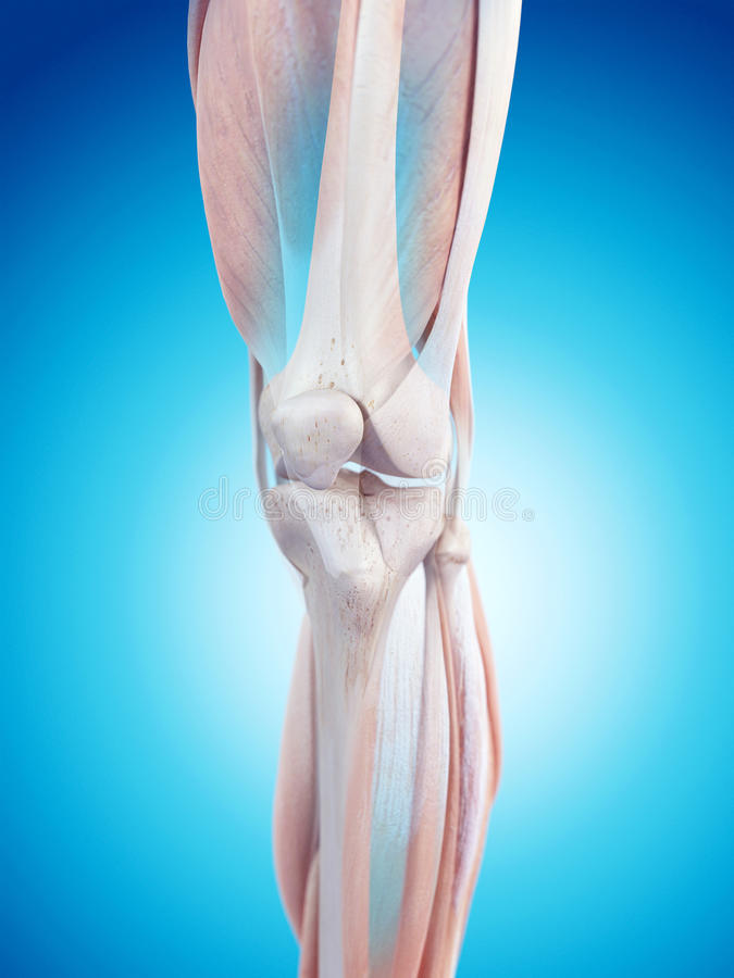 The leg muscles. Medically accurate illustration of the leg muscles stock illustration