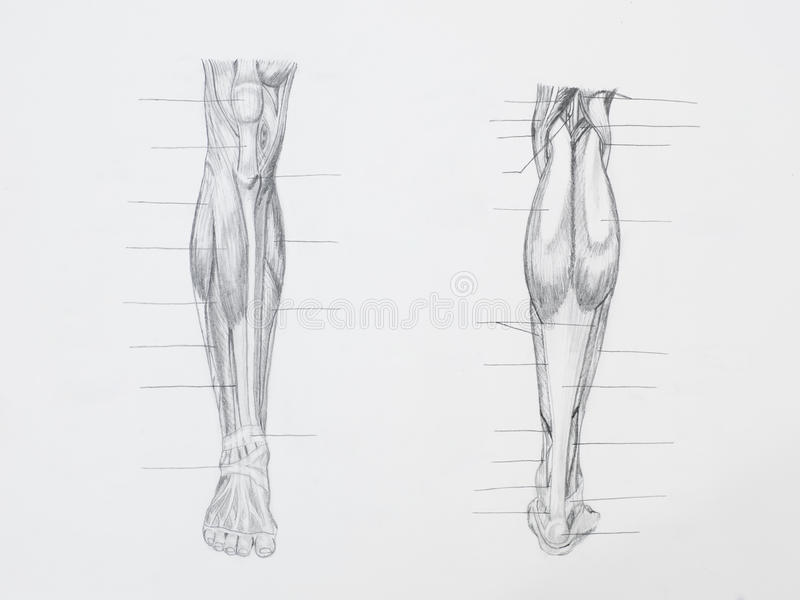 Leg muscles pencil drawing stock photography