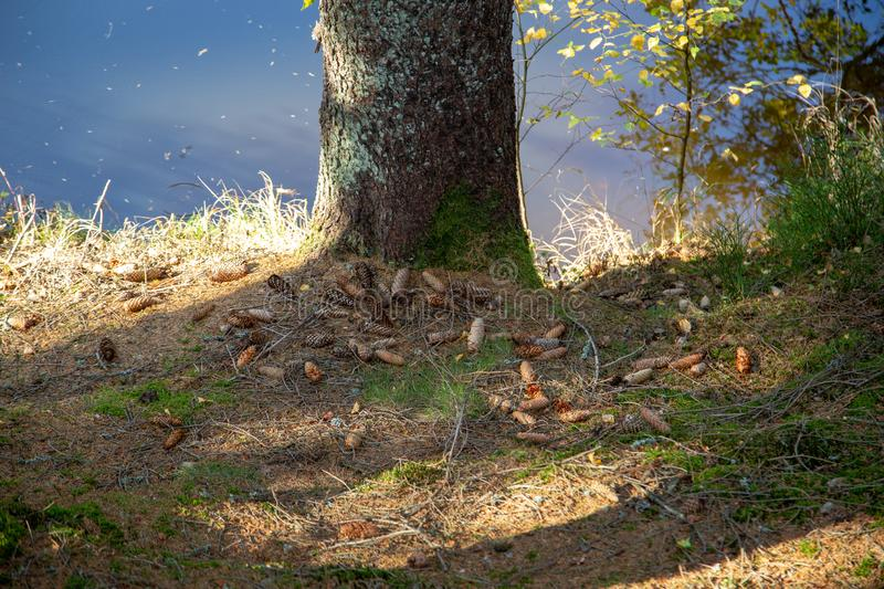 Leg tree with moss and fir cone at the edge of a lake stock photos