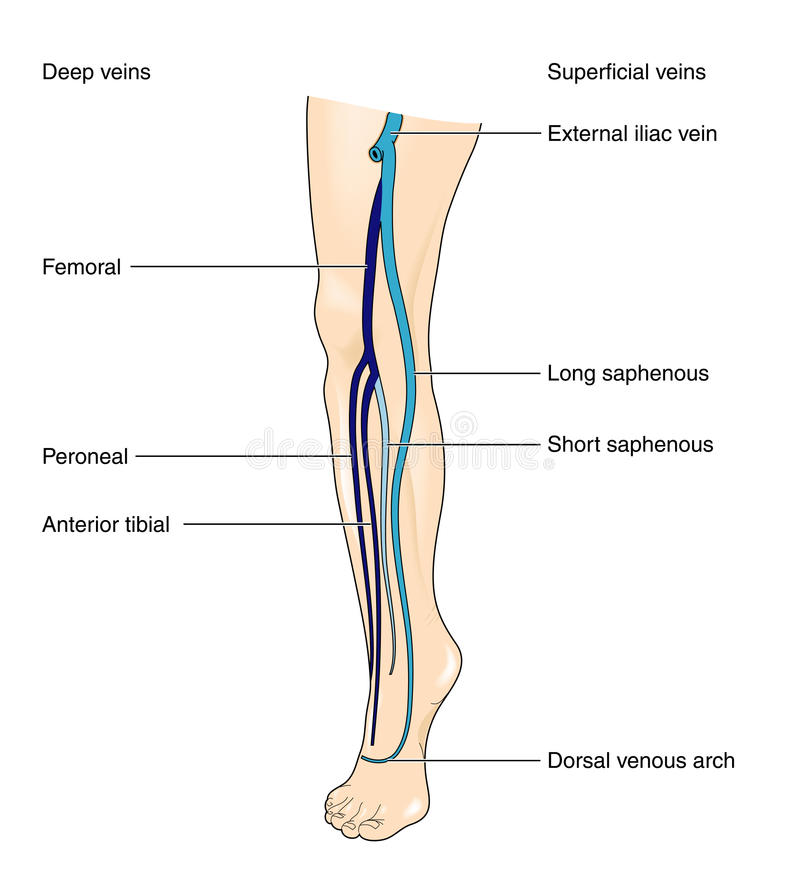 Leg veins. Superficial and deep veins of the leg from the external iliac to the dorsal venous arch royalty free illustration