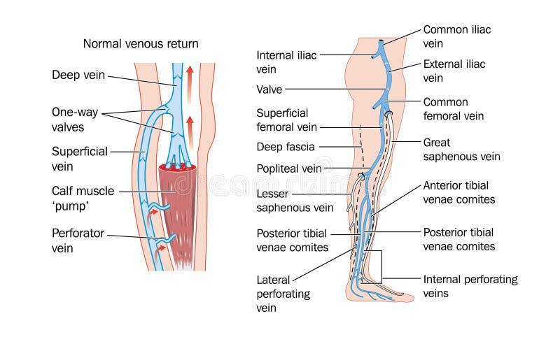 Leg Veins Royalty Free Stock Image