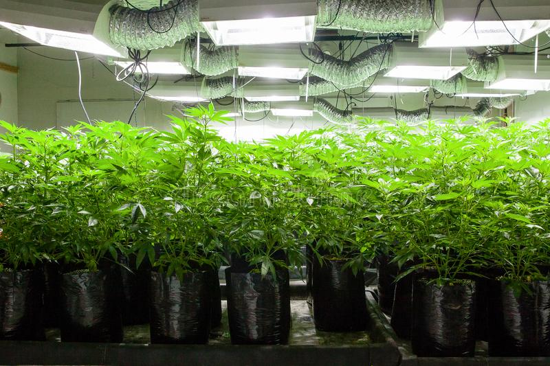 Legal cannabis grow room series - Marijuana growing and cultivation plants in bags under lights stock photos