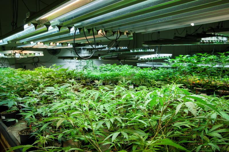 Legal cannabis grow room series - Marijuana growing and cultivation small plants in the early stage of growth under lights. Legal grow room series - growing and royalty free stock images