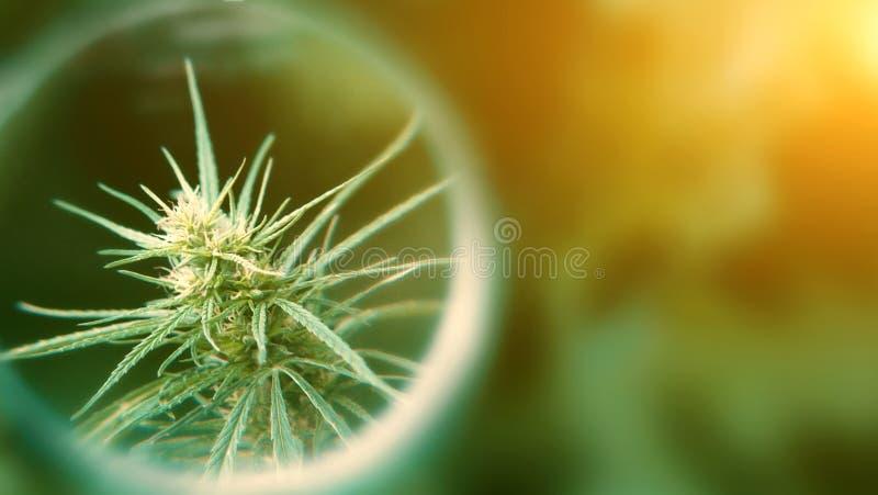 Legal Hemp, Medical Cannabis and Cannabidiol CBD Oil. Growing Premium Marijuana products. Concept of using Marijuana for medicinal. Purposes stock photo