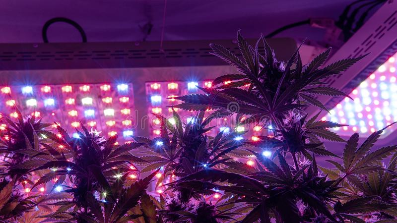Professional light for growing. Best LED Grow Lights for Cannabis. Legal racreational marijuana with THC standart. Using Cannabis for Cancer. The Case for royalty free stock images