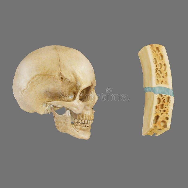 Legamento Sutural in cranio fotografia stock libera da diritti