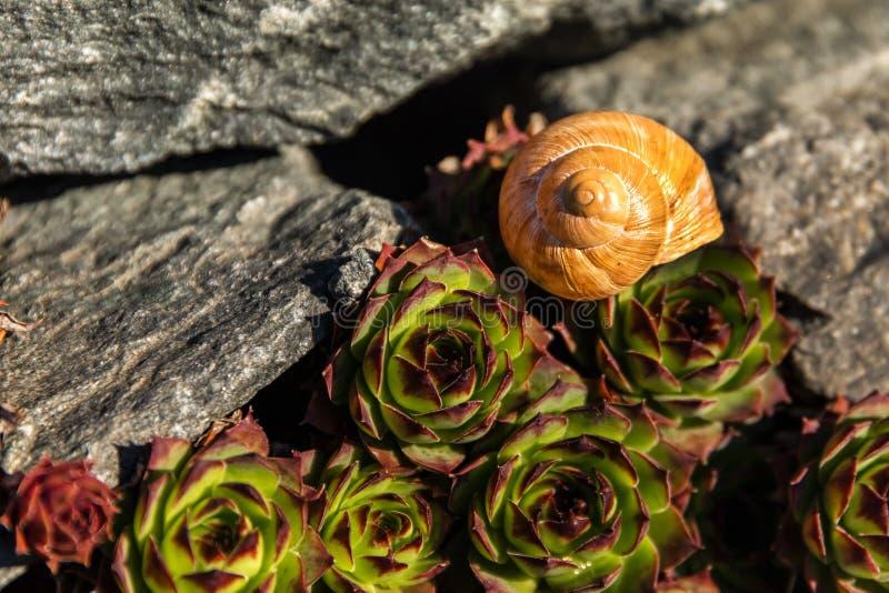 Lege conch slak Gedetailleerde weergave van de schaal De schoonheid van de voorjaarstuin De slak naar huis laten Fibonacci-spiraa stock foto