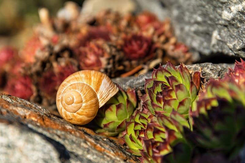Lege conch slak Gedetailleerde weergave van de schaal De schoonheid van de voorjaarstuin De slak naar huis laten Fibonacci-spiraa stock fotografie