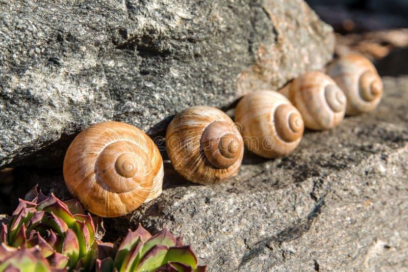 Lege conch slak Gedetailleerde weergave van de schaal De schoonheid van de voorjaarstuin De slak naar huis laten Fibonacci-spiraa royalty-vrije stock fotografie