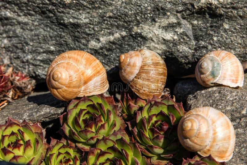 Lege conch slak Gedetailleerde weergave van de schaal De schoonheid van de voorjaarstuin De slak naar huis laten Fibonacci-spiraa stock foto's