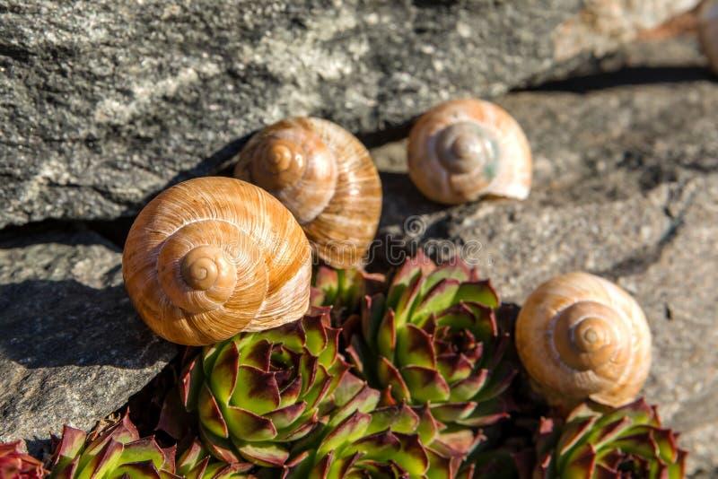 Lege conch slak Gedetailleerde weergave van de schaal De schoonheid van de voorjaarstuin De slak naar huis laten Fibonacci-spiraa stock afbeeldingen
