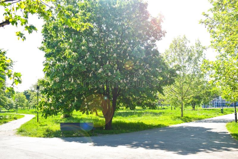 Lege houten bank onder de tot bloei komende kastanje in het centrale park in een zonnige de lentedag royalty-vrije stock foto
