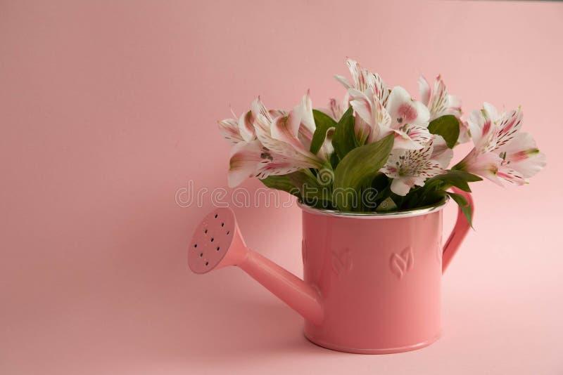 Lege roze gieter en drie karmozijnrode gerberabloemen die diagonaal liggen Drie rode bloemen en een lege gieter op a stock afbeelding