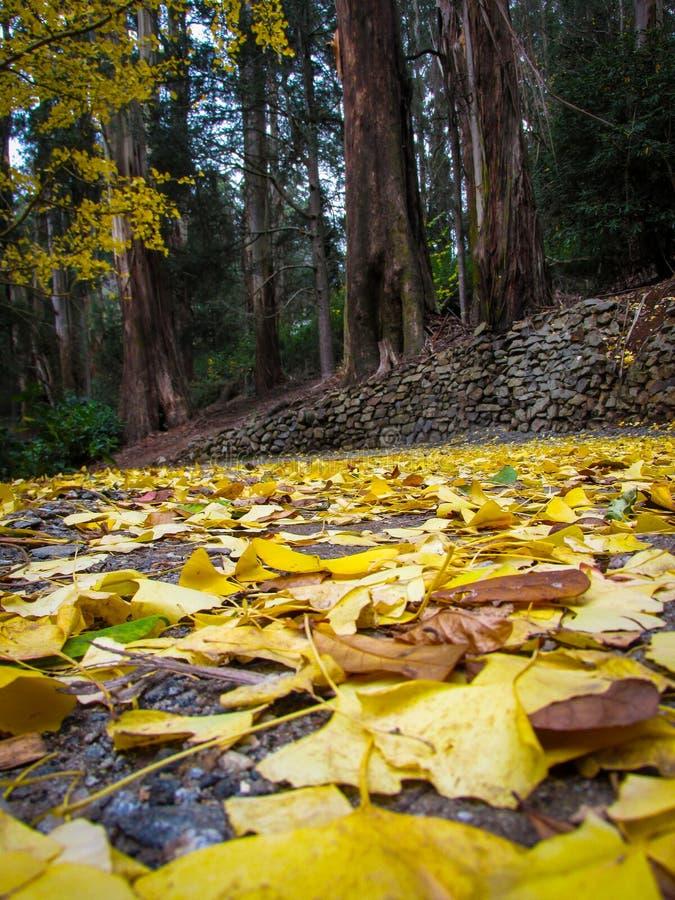 Lege voetpad bedekt met gevallen gele Ginko-bladeren tegen de achtergrond van het Sherbrooke-bos royalty-vrije stock foto