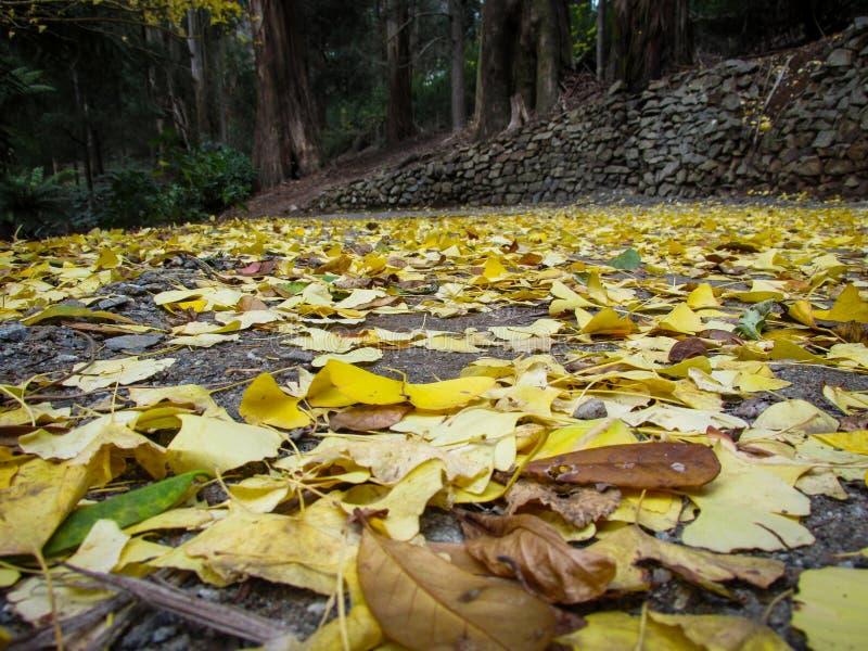 Lege voetpad bedekt met gevallen gele Ginko-bladeren tegen de achtergrond van het Sherbrooke-bos royalty-vrije stock afbeelding