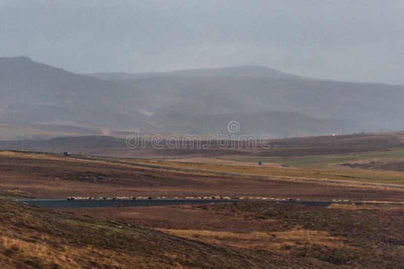 Lege Weg en het Lopen Schapen in IJsland Wilde aard stock foto