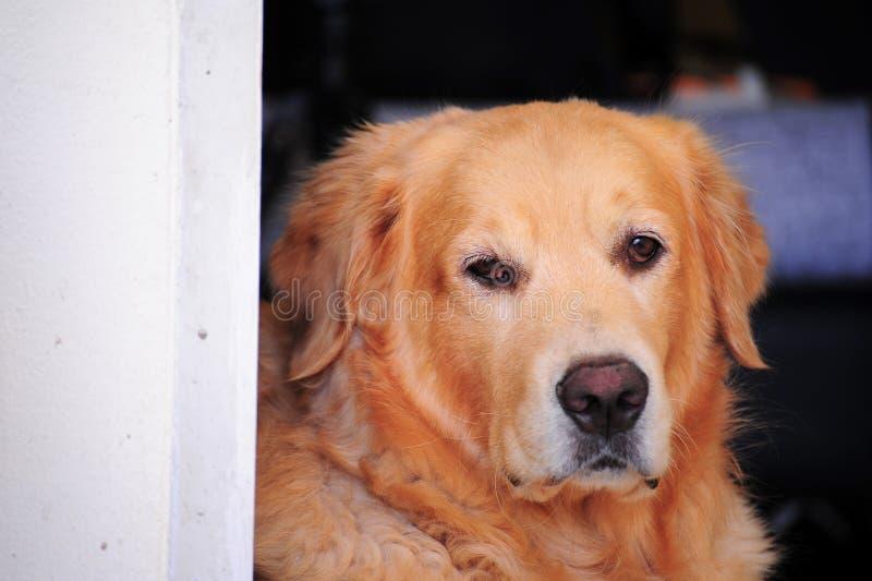 Legen des goldenen Apportierhunds lizenzfreie stockbilder