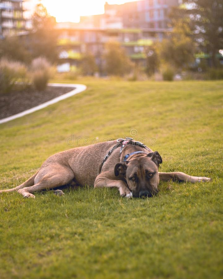 Legen des Hundes lizenzfreie stockfotografie