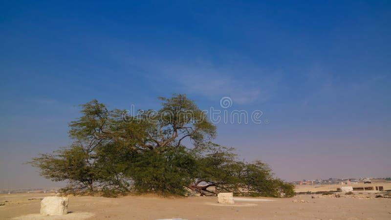 Legendarische boom van het leven, de woestijn van Bahrein stock foto's