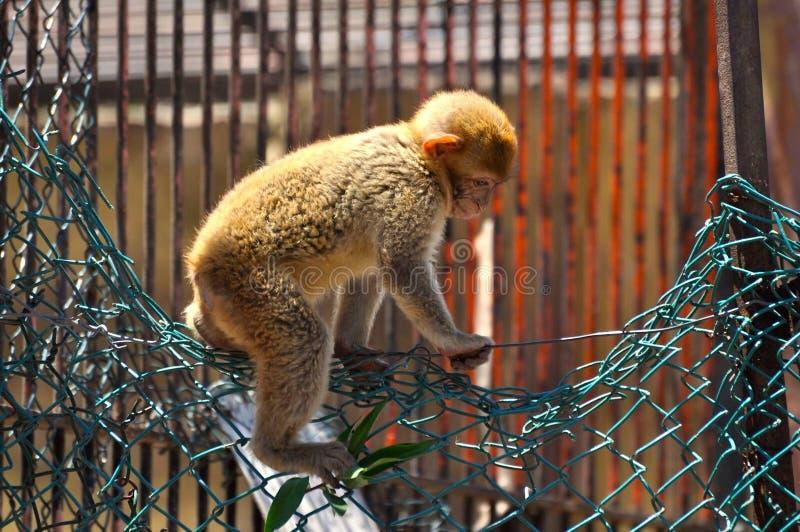 Legge 1 di fuga della scimmia fotografia stock