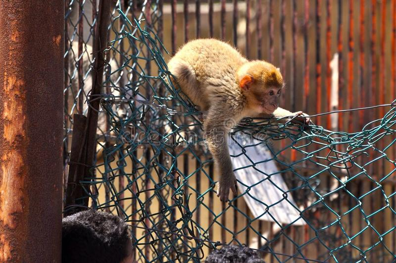 Legge 2 di fuga della scimmia immagini stock