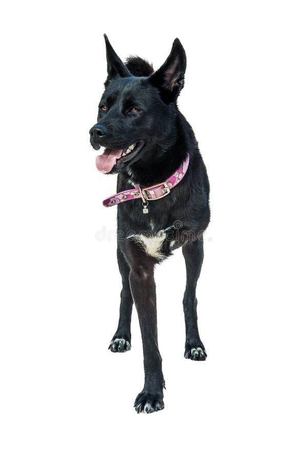 Legged собака 3 стоковое изображение