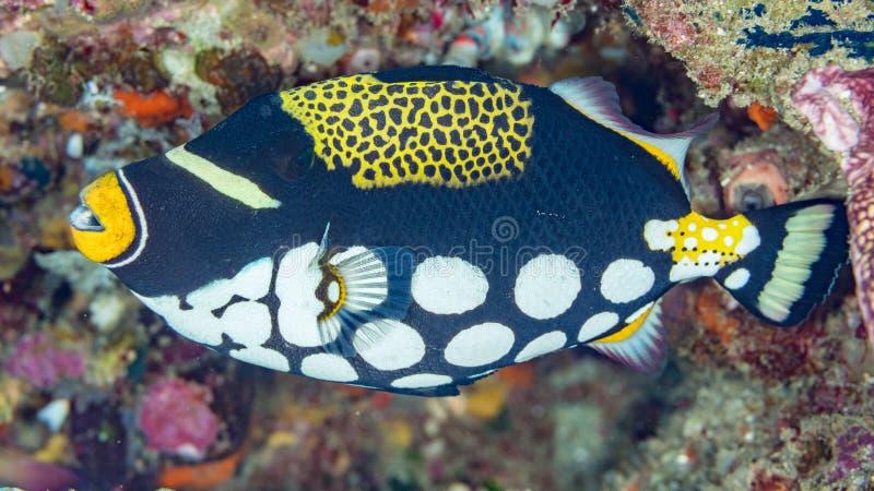 legitimationskott av en clowntriggerfish royaltyfri foto
