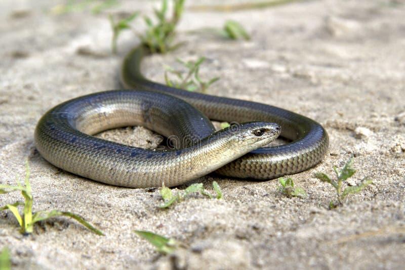 Legless ödla långsamma Worm som ligger på sanden på kanta av foen fotografering för bildbyråer