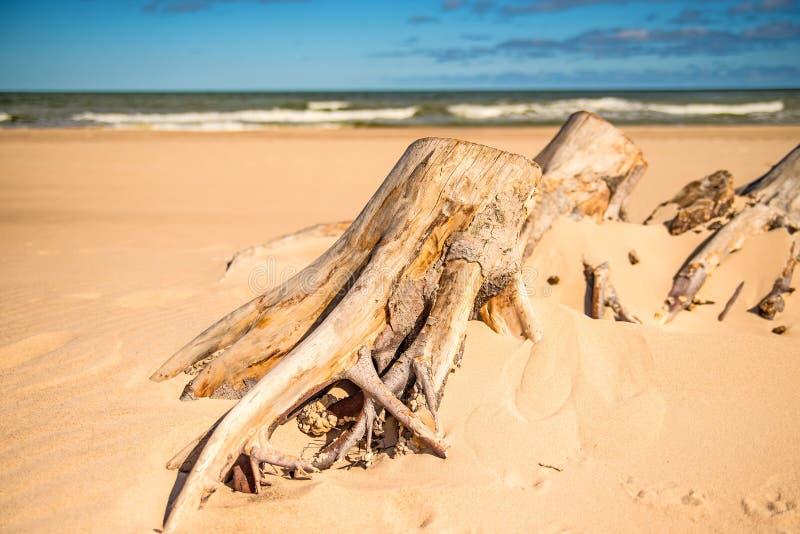 Legname galleggiante ad una spiaggia del Mar Baltico fotografia stock
