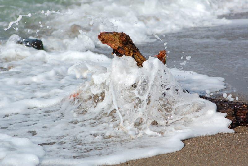 Legname galleggiante alla spiaggia del weststrand sui darss di nomi della penisola in Germania fotografia stock